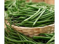 Dwarf French Beans – Stanley – 9cm Pots 50p each