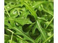 "Lettuce – Salad Rocket Dentellata 5 inch 13cm Pot ""cut n come"" £1.00 SOLD OUT more next week"