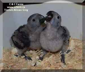 Timneh African Grey Babies - C & C Farms Aviary
