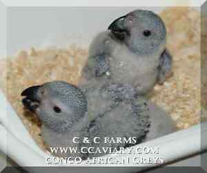 Baby Parrots - Macaws, African Greys, Eclectus - C & C Farms