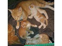 Ginger Tabby Kittens FREE