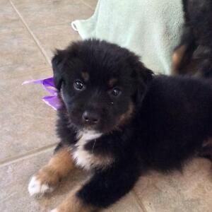 PET SAVE PUPPIES FOR ADOPTI
