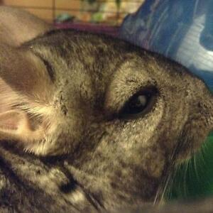 Male chinchillas for sale