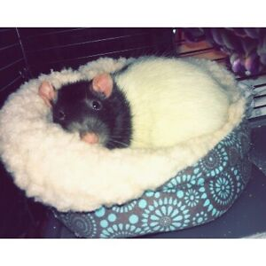 LOOKING FOR: Female rats!