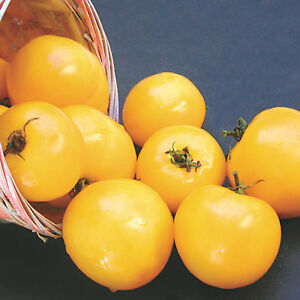 Heirloom Yellow Taxi Tomato Seeds for Sale..!!