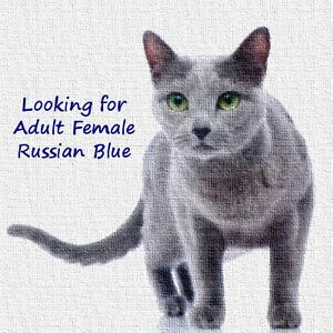 Looking for Adult Female Russian Blue