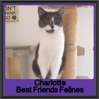 Charlotte - Best Friends Felines