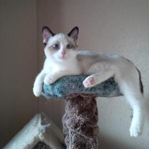 ADORABLE Ragdoll Munchkin kitten AVAILABLE to a loving home.
