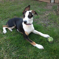 Camille- 4.5 mth - Husky/Beagle Mix - Friendly Giants Dog Rescue