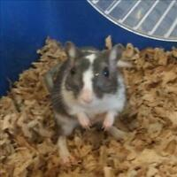 "Young Male Small & Furry - Gerbil: ""Tod"""