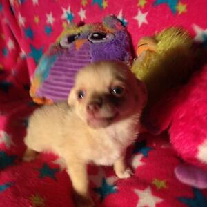 Chiot chihuahua x morkie t-cup