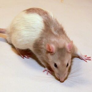 ALL KINDS OF RATS FOR SALE !! ALL FEEDERS AVAILABLE$