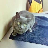 "Adult Female Cat - Russian Blue: ""Bridget"""