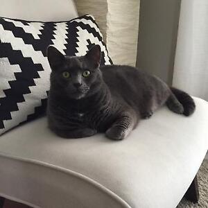 Russian Blue Male Cat    FREE TO GOOD HOME