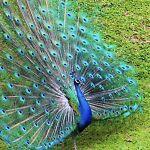 California Peacock