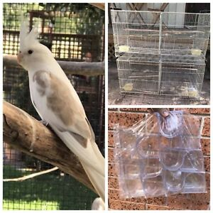 Cockatiel $50: cages $15: seed/water dishes pack $25 Kellyville The Hills District Preview