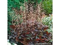 Perennial plants Purple Heuchera