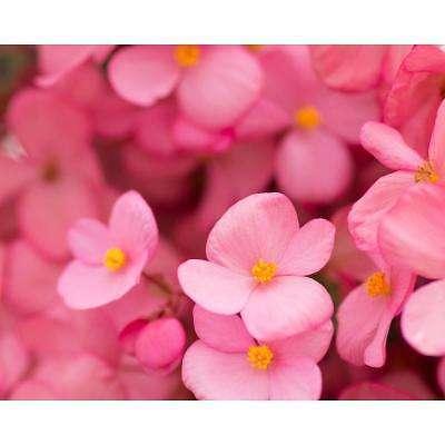 Blushing Begonia's