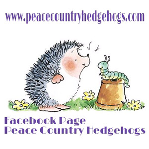 We Have Hoglets Available At Peace Country Hedgehogs
