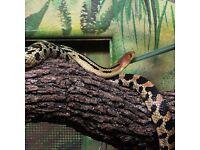 Californian pine snake