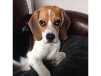5 month old tricoloured Beagle puppy for sale