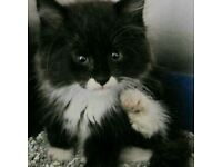 5 British long haired kittens can be rehomed today