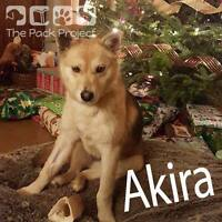 Akira is looking for her forever home