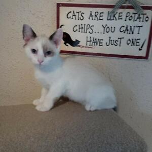 Adorable Munchkin Ragdoll Kittens Seek Loving Forever Homes