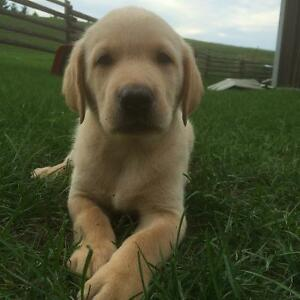 Black and Yellow lab puppies