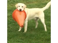 **sold pending collection**Labrador needs forever home