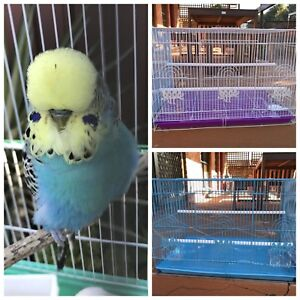 Adult male show budgie $40: New Flight cages $50 Kellyville The Hills District Preview