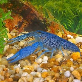 Blue Lobster / Crayfish