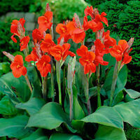 Canna Lily roots/rhizomes, bean seed, dahlia - trade or sell