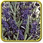Lavender Seeds Bulk