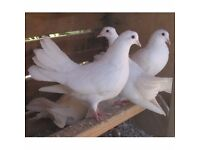 Fantail and Fantail X Doves For Sale