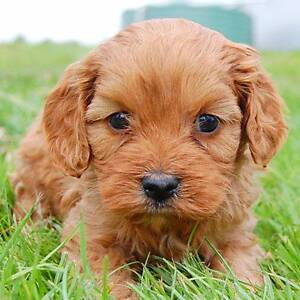 WANTED: CAVOODLE OR MINI GROODLE - MID MARCH Brisbane City Brisbane North West Preview