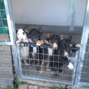 english/roman nose bull terrier puppies Seven Hills Blacktown Area Preview