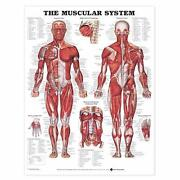 Anatomical Poster