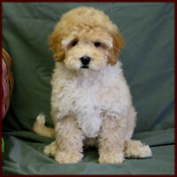 Looking for a bichon poo puppy or other poodle mixtures!