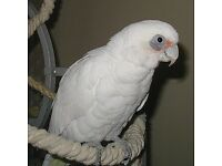 Gorgeous bare eyed cockatoo parrot , beautiful large healthy bird.