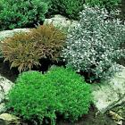 Dwarf Garden Shrubs
