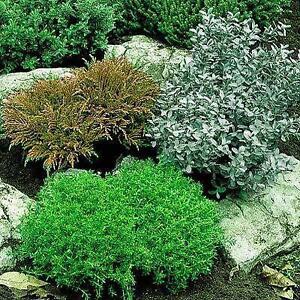 Garden Shrubs eBay