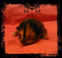 GORGEOUS MINUET KITTENS -  1 EXTREMELY RARE CHOCOLATE COAT...
