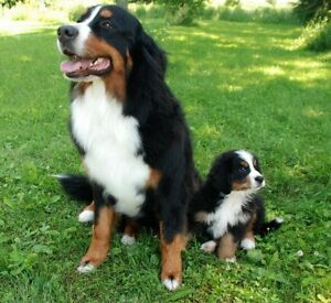 BERNESE PUPPY WANTED