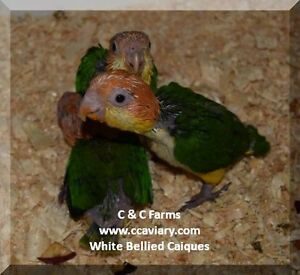 White Bellied Caique Babies - C & C Farms Aviary