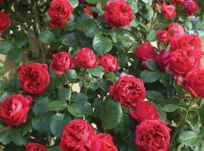 Red Eden Climbing Rose   1 Small Starter Plant  Own Roots
