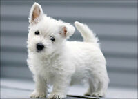 In search of recommendations for a Vet for Westie puppy