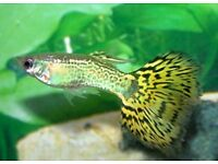Yellow tailed guppies for sale
