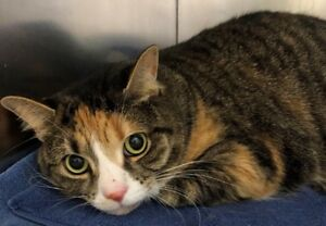 FOUND shorthaired calico tabby. Female. FRONT declawed.