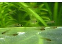 10 young guppies for sale. From 2 weeks to 8 weeks old.
